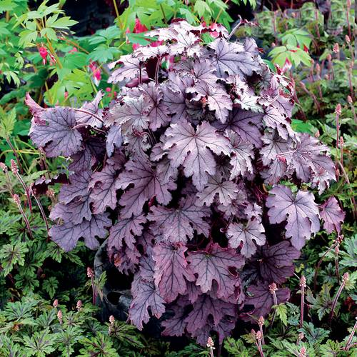 Heucherella Cascade™ 'Plum Cascade'