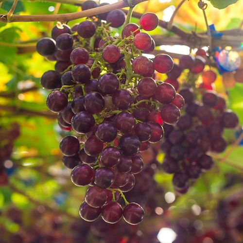 Grape Vitis 'Suffolk Red'