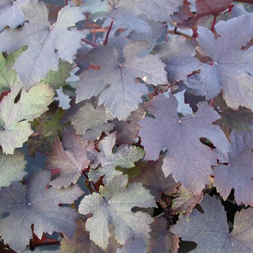 Purple-Leaf Grape Vine
