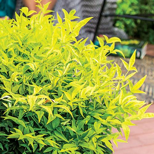 Nandina 'Lemon-Lime'