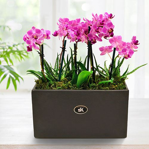 Trio of Double Mini Moth Orchids in Box Planter