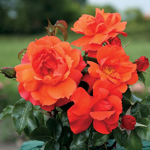 Sierra Lady™ Sunbelt® Floribunda Rose