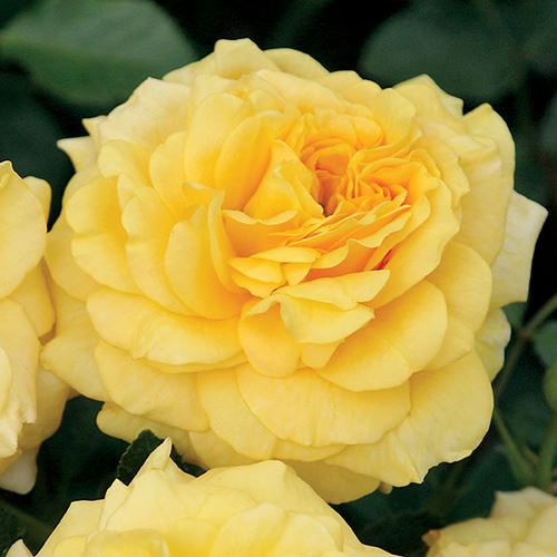 Tupelo Honey™ Floribunda Rose