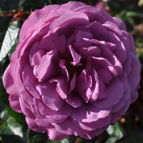 Plum Perfect™ Sunbelt® Floribunda Rose