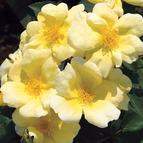 Sunny Knock Out® Shrub Rose