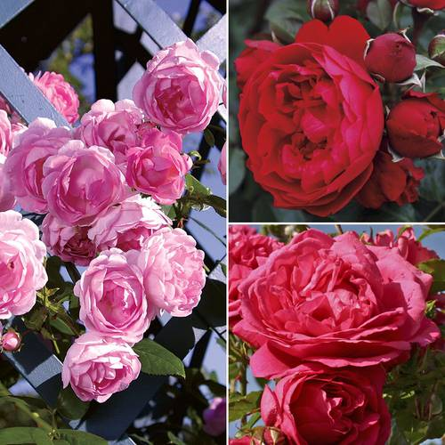 Kordes® Climbers Rose Collection