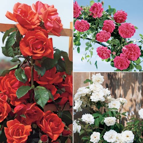Jackson & Perkins® Climbing Rose Collection