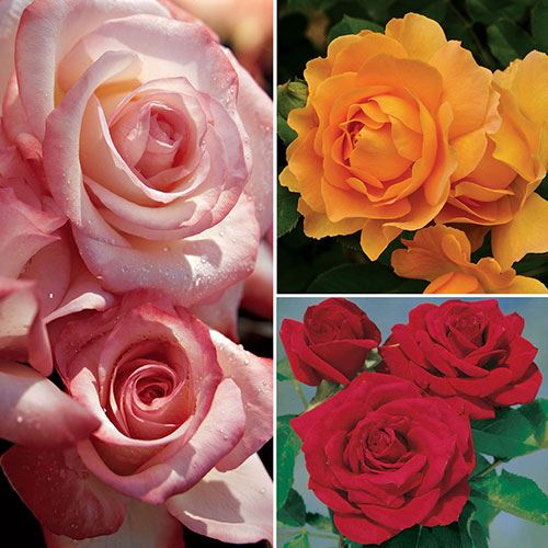 All American Rose Selection Winners Collection