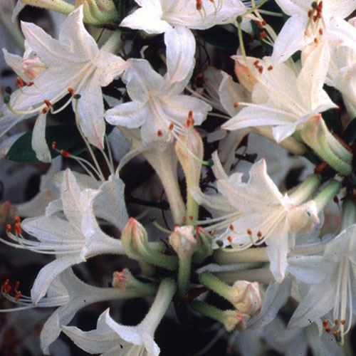 'Fragrant Star' Azalea