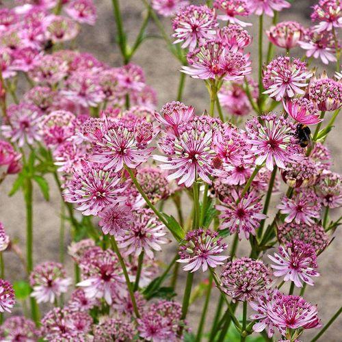 Astrantia 'Sparkling Stars Pink'