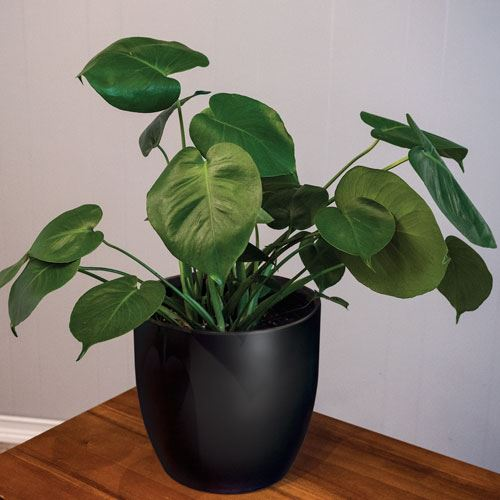 Philodendron Monstera in Black Pot
