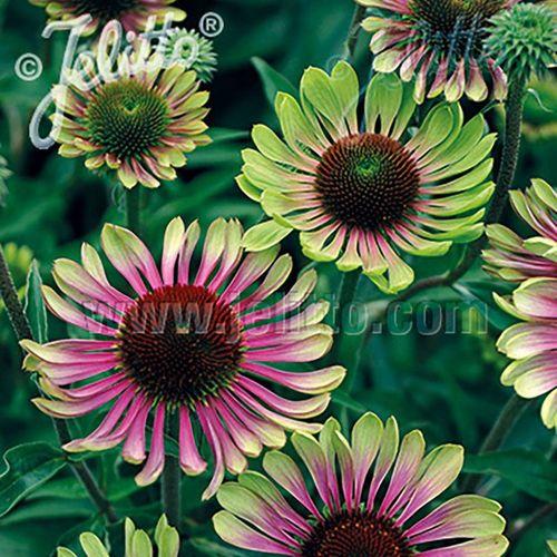 Echinacea 'Green Twister'