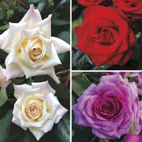 Purely Fragrant Rose Collection