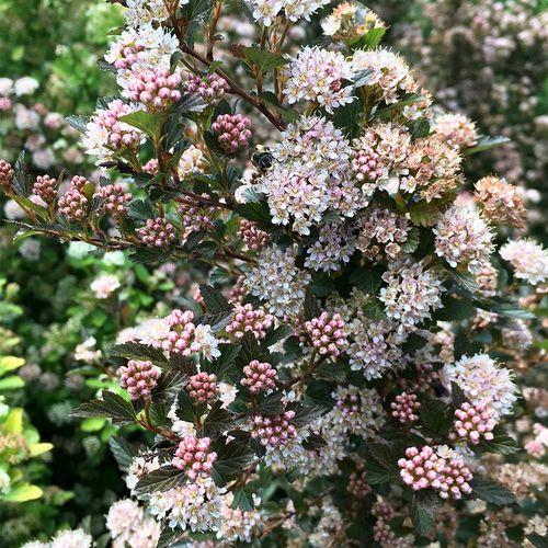 Sweet Cherry Tea™ Physocarpus