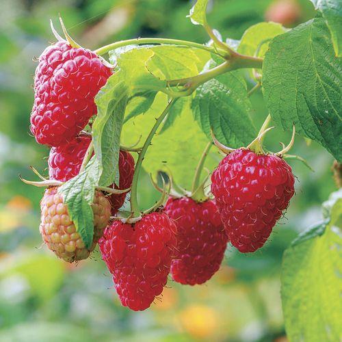 Raspberry 'Caroline'