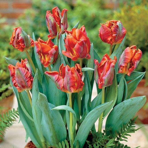 Tulip 'Blumex Favourite'