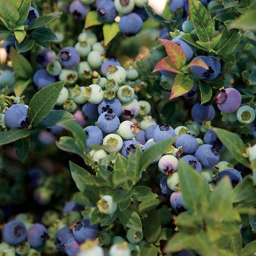 Bushel & Berry® Jelly Bean®