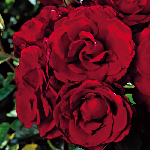Four Roses® Anniversary Rose