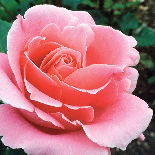 'Bewitched' Hybrid Tea Rose