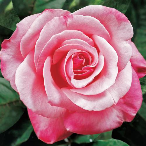 'First Prize' Hybrid Tea Rose