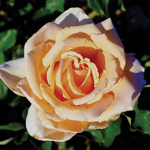 'Just Joey' Hybrid Tea Rose