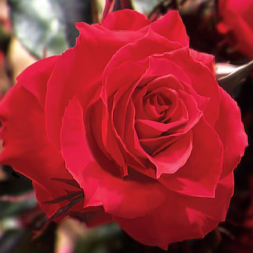 Double Knock Out® 24-Inch Patio Tree Rose