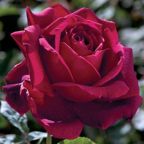 'Oklahoma' Hybrid Tea Rose