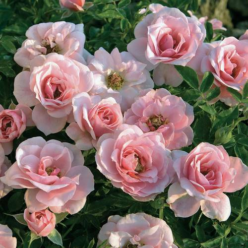 Sweet Sunblaze® 18-inch Tree Rose