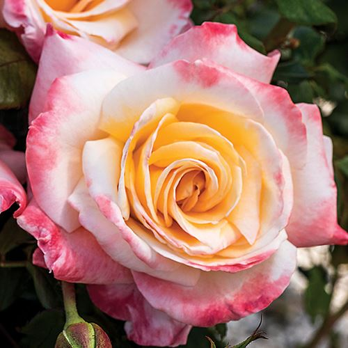'Nora Virginia' Hybrid Tea Rose