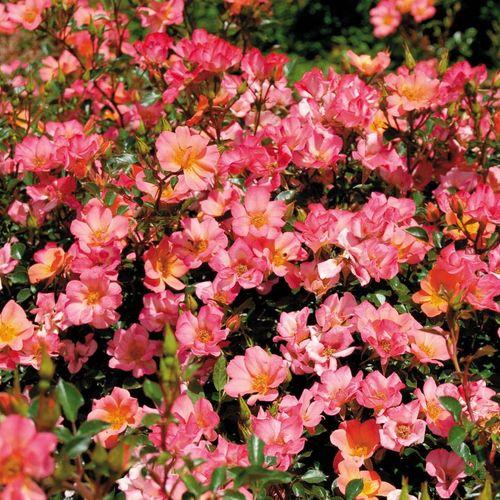Rosa Happy Chappy 36-Inch Tree Rose