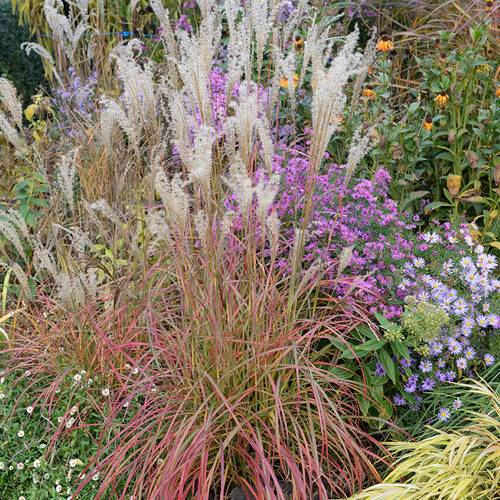 Miscanthus 'Little Miss'