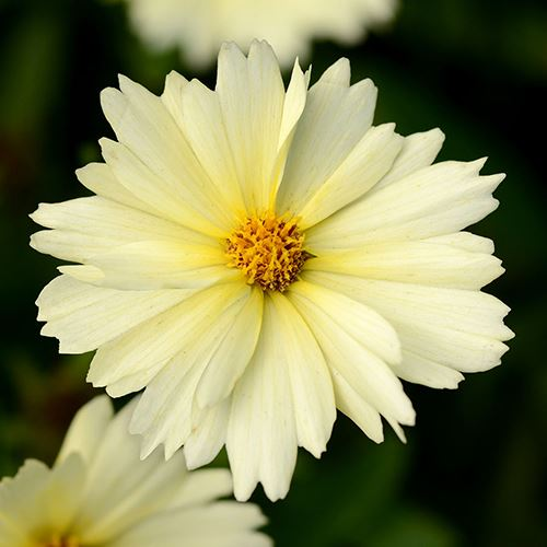 Coreopsis UpTick™ Cream