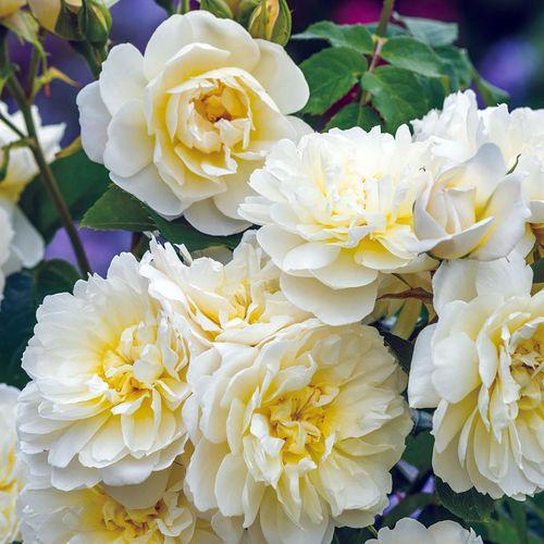 'Imogen' Shrub Rose