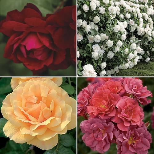 Floribundas for Containers Collection