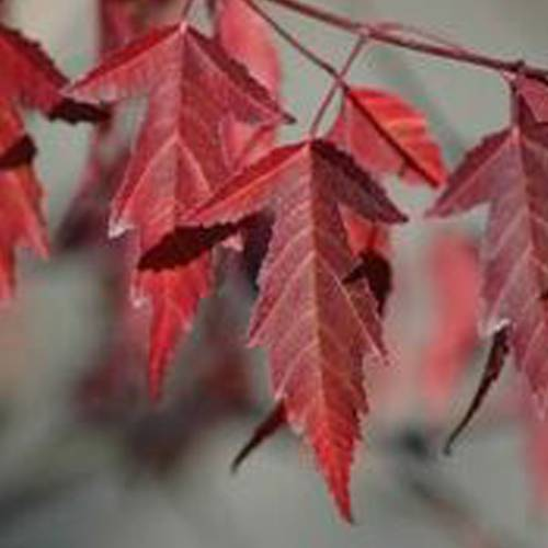 Acer 'Flame'