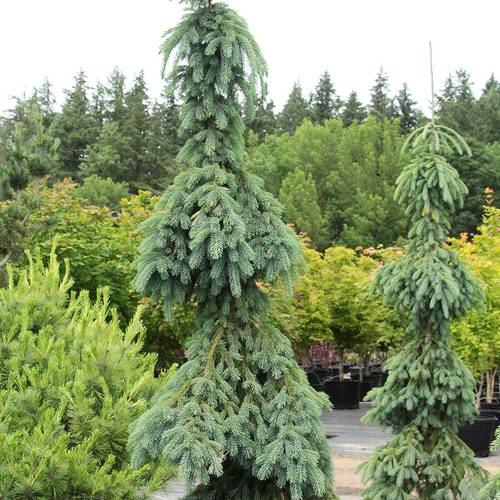 Picea 'Pendula'
