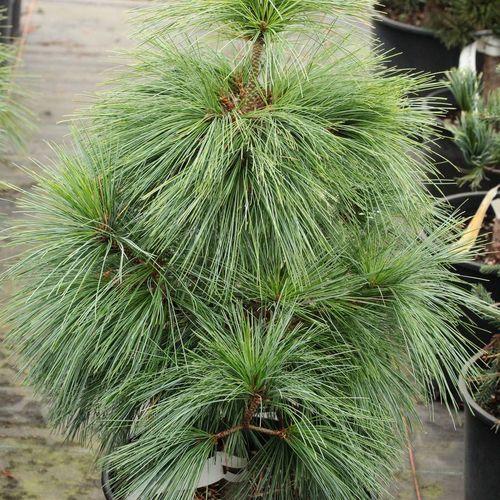 Pinus 'Wiethorst'