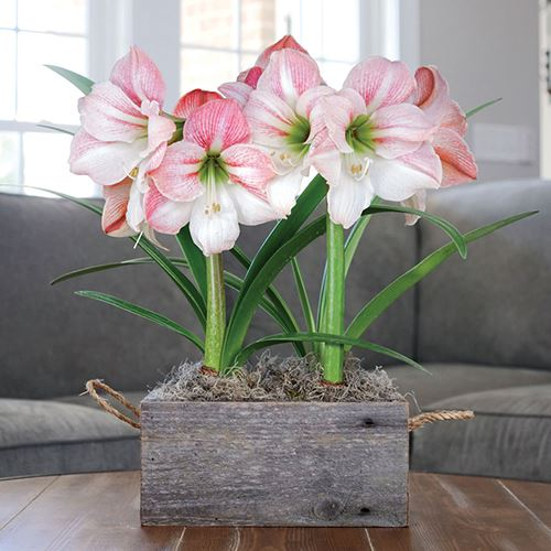 Sweet Love Amaryllis