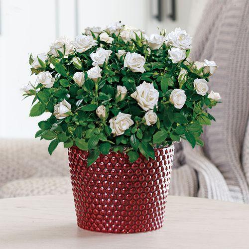 Whimsical White Rose Gift