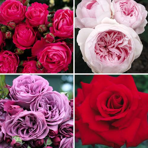 Kordes® Rose Collection