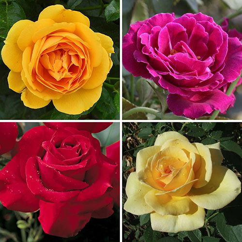Tribute Rose Collection