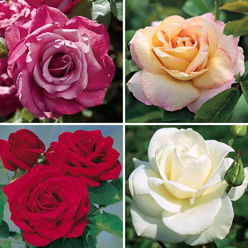 Beautiful Large Blooms Rose Collection