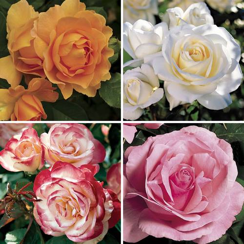 AARS Winners Rose Collection