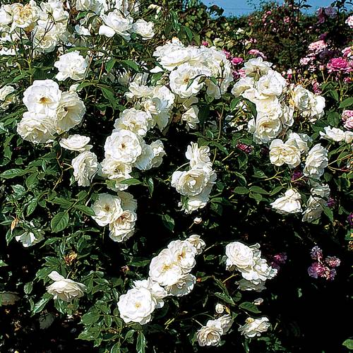 'Iceberg' Shrub Rose