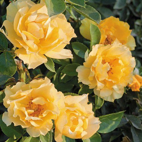 Friend's Embrace Floribunda Rose