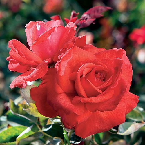 'Dolly Parton' Hybrid Tea Rose