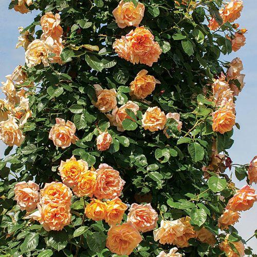 Garden Sun™ Climbing Rose
