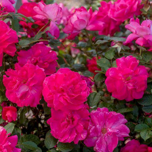 Highwire Flyer™ Rose