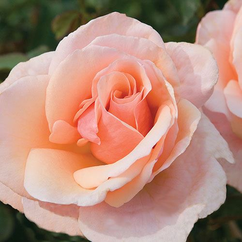 Mother Of Pearl® Grandiflora Rose
