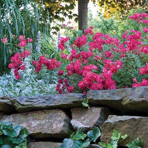 Red Drift® Groundcover Rose